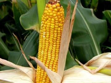 Гібрид Патриція : високий врожай при базовій волозі